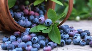 Bilberry (Vaccinium Myrtillus)