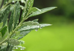 Olive leaf extract, leaf of the olive tree (Olea europaea)