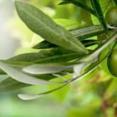 MyPlankton contains powerful Olive Leaf Extract