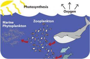 marine phytoplankton chain