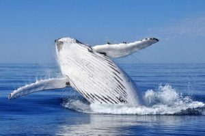 Phytoplankton is a major food source for baleen whales