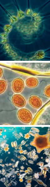 Pure Marine Phytoplankton