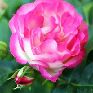 Rose Otto (Bulgarian)