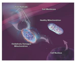 pure marine phytoplankton supports mitochondria